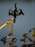 Male Anhinga Perches on a Tree Stump above a Coastal Lagoon Photographic Print by Klaus Nigge