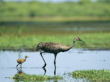 Sandhill Crane Wades with its Young in the Water Photographic Print by Klaus Nigge