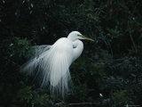 Great Egret Displays its Plumage Fotografisk tryk af Klaus Nigge
