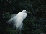 Great Egret Displays its Plumage Photographic Print by Klaus Nigge