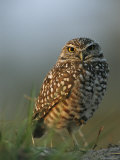 Burrowing Owl Perches on a Mound of Sand Fotografie-Druck von Klaus Nigge