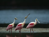 Trio of Roseate Spoonbills Are Reflected in a Coastal Lagoon Photographie par Klaus Nigge