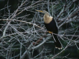 Female Anhinga Perches on a Tree Branch above a Freshwater Pond Photographic Print by Klaus Nigge