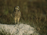 Burrowing Owl Perches on a Mound of Sand Photographic Print by Klaus Nigge