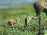 Sandhill Crane and Young Photographic Print by Klaus Nigge