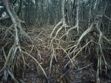 Thick Tangle of Mangrove Tree Roots Photographic Print by Klaus Nigge