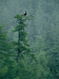Stellers Sea Eagle Perches High in a Treetop Photographic Print