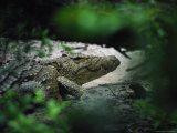 Crocodile Photographed Through Dense Foliage Photographic Print by Michael Nichols