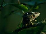 Chameleon Traversing a Thin Branch Fotografie-Druck von Michael Nichols