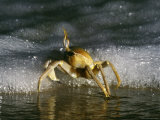 Ghost Crab Scuttling near Foamy Surf Photographic Print by Michael Nichols