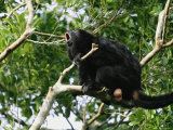 Black Howler Monkey Calls from a Tree Photographic Print by Stephen Alvarez