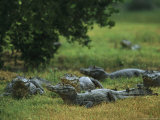 Caimans in the Marshes of the Southern Pantanal Photographic Print by Steve Winter