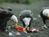 Trio of American Bald Eagles Eat Fish Carcasses 写真プリント : トム・マーフィ