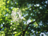 Orb Weaver Spiders Web in Sunlight Photographic Print by Kate Thompson