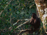 Monkey Perched on a Tree Branch Photographic Print by Michael Nichols