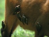 Small Birds Peck Parasites from the Hide of a Forest Buffalo Photographic Print by Michael Nichols