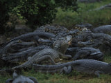 Large Cluster of Caimans in the Marshes of the Southern Pantanal Photographic Print by Steve Winter