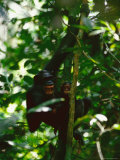 Snarling Chimpanzee Holds her Baby While Hanging from a Tree Branch Photographic Print by Michael Nichols