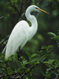 Great Egret Perches on a Tree Branch Photographic Print by Klaus Nigge
