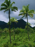 Field of Palm Trees with Volcanic Mountains in Background Photographic Print by Todd Gipstein