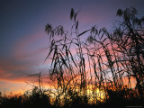 Silhouette of Tall Grass at Sunset Photographic Print by Klaus Nigge