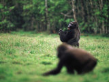 Two Gorillas Forage in a Clearing Photographic Print by Michael Nichols