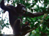 Female Chimpanzee and her Baby Perched on a Tree Branch Photographic Print by Michael Nichols