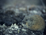 Brown Lemming on the Tundra Photographic Print by Paul Nicklen