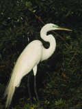 Great Egret Perches on a Tree Branch above a Freshwater Pond Photographie par Klaus Nigge