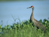 Sandhill Crane Stands Amid the Tall Grass of a Marsh Photographie par Klaus Nigge