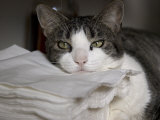 Cat Sleepily Rests its Chin on a Stack of Napkins Lmina fotogrfica por Cotton Coulson