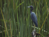 Little Blue Heron Perches on a Tree Stump Photographic Print by Klaus Nigge
