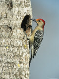 Red-Bellied Woodpecker Looks into its Nest Photographic Print by Klaus Nigge