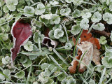 Frost-Covered Weeds, Leaves, and Grasses Photographic Print by Charles Kogod
