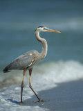 Great Blue Heron Walks in the Sand Fotografisk tryk af Klaus Nigge