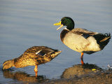 Male and Female Mallard Duck Photographic Print by Rich Reid