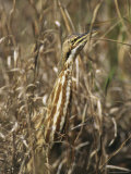 American Bittern Blends in with the Shoreline Grass Photographic Print by Klaus Nigge