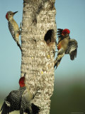 Trio of Red-Bellied Woodpeckers Photographic Print by Klaus Nigge