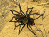 Tarantula Spider Rests on a Rock Photographic Print by Rich Reid