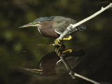 Green-Backed Heron Perches on a Tree Branch above the Water Photographic Print by Klaus Nigge