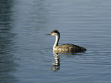 Western Grebe Swimming on the Surface of Calm Water Photographic Print by Marc Moritsch