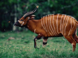 Bongo Antelope Being Irritated by Insects Photographic Print by Michael Nichols