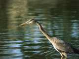 Great Blue Heron in Hunting Position in Water Photographic Print by Marc Moritsch