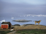 Sled Dog Stands Watch Photographic Print by Sisse Brimberg
