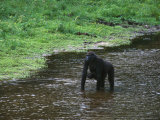 Female Gorilla Carrying her Infant Wades Through Shallow Water Photographic Print by Michael Nichols