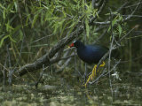 Purple Gallinule Perches on a Tree Branch above a Freshwater Pond Photographic Print by Klaus Nigge