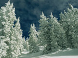 Snow-Covered Evergreen Trees under a Cloudy Sky Photographic Print by Kate Thompson
