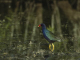Purple Gallinule Wades in a Freshwater Pond Photographic Print by Klaus Nigge
