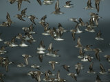 Flock of Western Sandpipers in Flight Photographic Print by Klaus Nigge