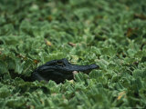 American Alligator Lies Beneath Water Lettuce Plants Photographic Print by Klaus Nigge